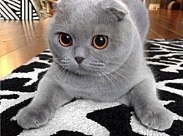 暹罗猫 世界十大最受欢迎的宠物猫品种 已经成为最受欢迎的短毛猫