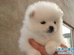 超可爱的小狗适合家庭使用 真的超可爱!