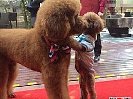 世界上最聪明的狮子狗巨人泰迪 魁梧而温顺/曾以600万英镑的价格售出