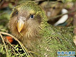 世界上唯一不会飞的鹦鹉 看起来很可爱 擅长死亡(几乎灭绝)