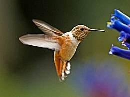 世界上最小的鸟排名 蜂鸟只有2克最轻/宽嘴鸟是7厘米长