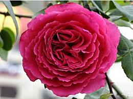 十大攀缘玫瑰排名攀缘玫瑰的最佳品种是什么