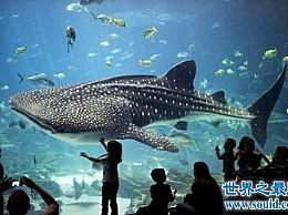 世界上最大的鱼 至少20米长 40吨重!