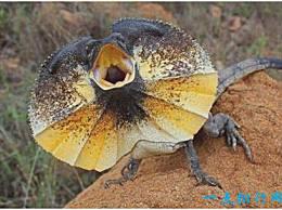 世界上最奇怪的蜥蜴 伞蜥蜴脖子上有一个伞环 可以直立行走