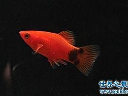 如何饲养红色月光鱼?给你的养鱼秘诀!