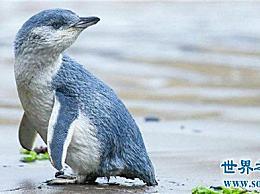 世界上最小的企鹅有40多厘米 老鼠敢偷它们的蛋