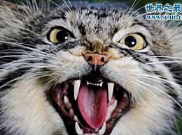 世界上最凶猛的猫 兔子(藏獒的咒语)
