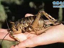 世界上最大的昆虫zhng有三只老鼠那么重