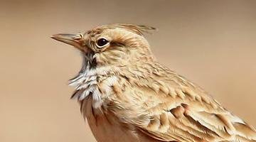 十大观赏鸟排名 最受欢迎的鸟是美丽的 有好的声音