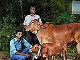 印度牛 世界上最矮的牛 身高只有61.5 只能当宠物养