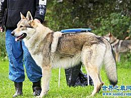 世界十大最贵的狗是普通人买不起的!