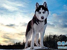 第二只哈士奇狗容易养吗?如何照顾和管教哈士奇