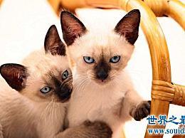 暹罗猫 世界上最高贵的猫中的王子!