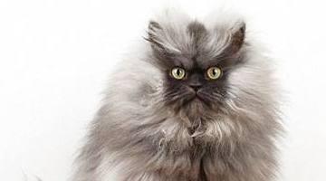 世界上最小的猫名单8个最小的猫品种