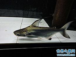 短成吉思汗鲨鱼 它们是可以饲养的鲨鱼