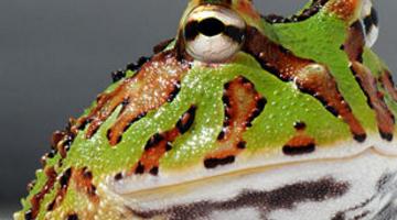 世界上触须最长的青蛙 亚马逊角蛙(贪吃到死)
