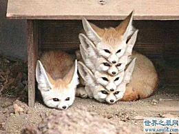 世界上最大耳朵的狐狸,像蝙蝠翅膀一样