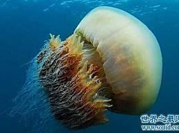 北极探险极地世界的夏水母世界上最美丽的动物