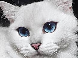克比 世界上最美丽的猫 充满光环和蓝眼睛 哭了43万人