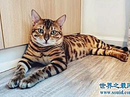 十种世界上最大的猫的排名 温和的巨人排名第二