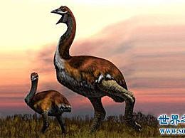 世界上最大的鸟叫象鸟 它能达到三米多高 体重惊人