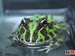 世界上最可爱的宠物青蛙 南美绿角蛙是圆而可爱的(图片)