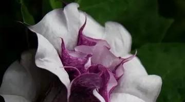 世界上最毒的花的名单 曼陀罗中毒的人在一天内死亡
