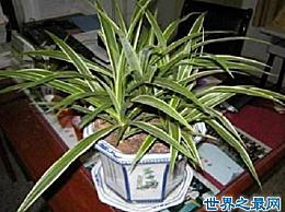 最漂亮的蜘蛛植物 如果你错过了 你可能会后悔一辈子