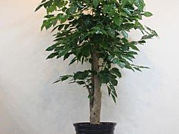 世界上最幸运的树 它能吸收甲醛和苯 并含有抗癌元素