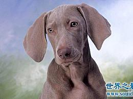 威尔玛是一只高贵的狗 你对此了解多少?