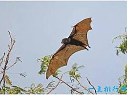 世界上最大的飞行哺乳动物 巨猴能滑翔超过90米