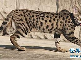 名单中的十大猫科动物 最大的热带草原猫科动物超过半米长