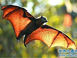 果蝠已成为蝙蝠中最大的物种 与病毒和病毒非典病毒有所不同