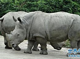 世界上最大的犀牛 白犀牛高1.58米 长4.2米!