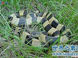 喜马拉雅白头蛇中国最毒的蛇
