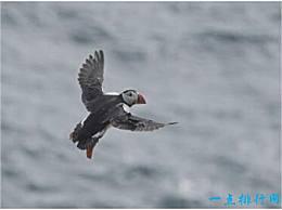 世界上潜水能力最强的鸟 海雀能在水下57米潜水