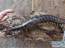 最大的蜈蚣有半米长 当它被发现时几乎被误认为是一只大老鼠