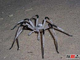 世界上腿最长的蜘蛛 蜘蛛(体长4厘米/腿长30厘米)