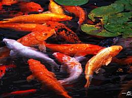 十大最适合驯养的风水鱼排名风水鱼最好养什么鱼