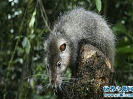 算上世界上最大的老鼠 它的体长约为1米 猫看到它会发抖
