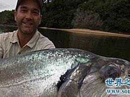 世界上最大的淡水鱼 体长两米 寿命30年!
