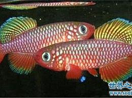 世界上最短的鱼 遗憾的是它的生存时间很短