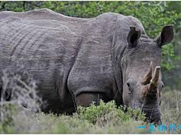 世界上最大的犀牛 白犀牛有3到4米长 野生的北方亚种已经灭绝