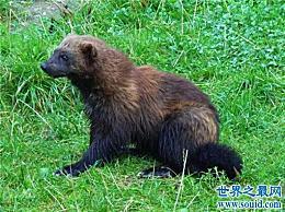 关于狼獾的十个有趣的事实 传说可以拯救世界