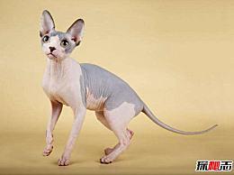 世界十大最丑的猫价格昂贵 而且难以窒息