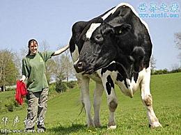 世界上最大的牛 将近2米高