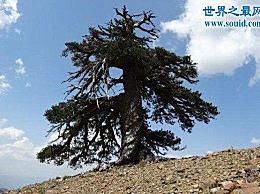 欧洲最古老的树 巴尔干松树1075岁(经历了第二次世界大战)