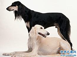 捷克狼狗实际上是世界上最昂贵的狗