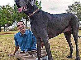 世界上最高的狗重100公斤 当它看到动物受伤时会流泪