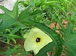 黄蜀葵和黄蜀葵的区别 区分这两者有四个步骤